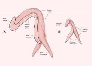 Ar orgazmas priklauso nuo nario dydzio Geba padidinti nari